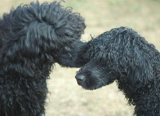 Photo of two Portuguese black water dogs