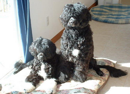 Photo of Acostar Portuguese water dog puppies sitting pretty