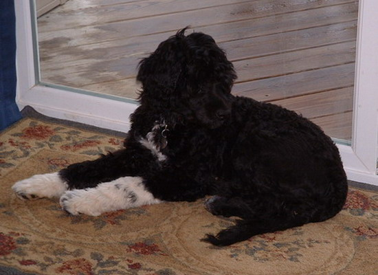 Photo of black water dog with white paws and chest