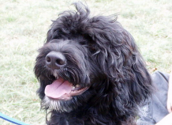 Beautiful head pic of Portuguese water dog