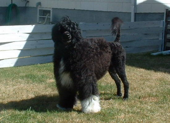 majestic Portuguese water dog posing for the camera