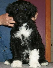 Photo of Portuguese water dog puppy at Acostar Canadian breeders