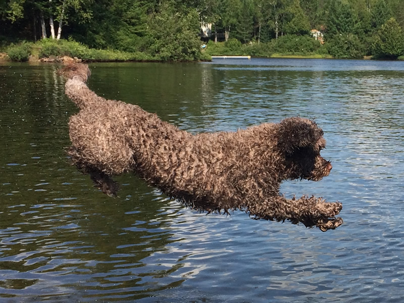 Portuguese water dogs love the water!