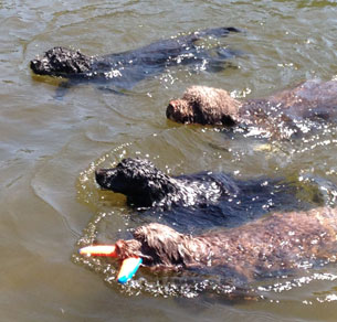 Four Acostar dogs Keke, Captain, Bella and Tia enjoying an afternoon swim