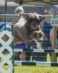 Photo of Portuguese water dog in competition
