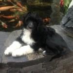 Acostar's Newfie Calibogus visiting the Koi pond