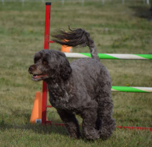 Tia performing in water dog athletic competition