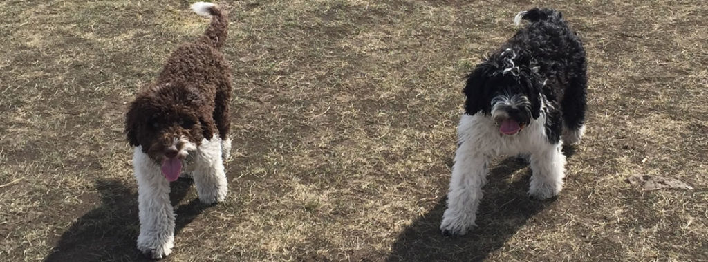 Hunter & Roxie - Portuguese water dogs