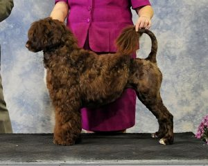 """Nelly"" Acostar's Canadian Champion Portuguese Water Dog"