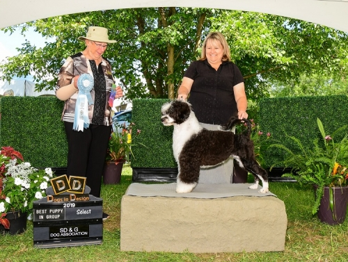 Julep the Portuguese Water Dog wins Select and Best Puppy in Group