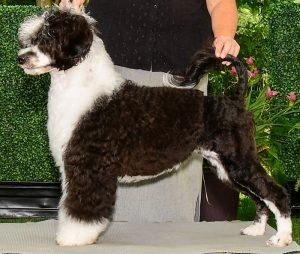 Photo of Julep, Acostar Portuguese Water Dog Champion
