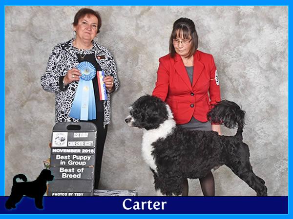 Carter - Acostar male breeding Portuguese waterdog