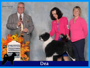 Dea - Acostar female breeding Portuguese waterdog