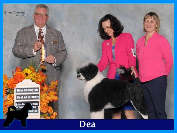 Dea - Acostar female breeding Portuguese waterdog