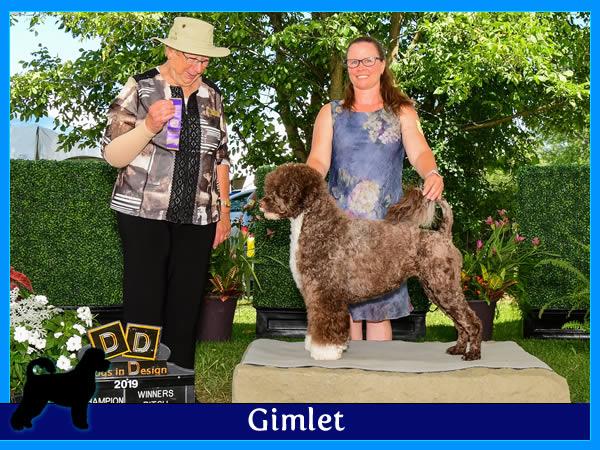 Gimlet - Acostar female breeding Portuguese waterdog