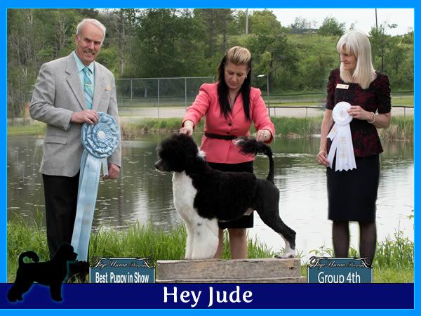 Hey Jude - Acostar male breeding Portuguese waterdog