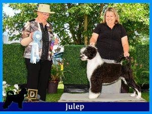 Julep - Acostar female breeding Portuguese waterdog
