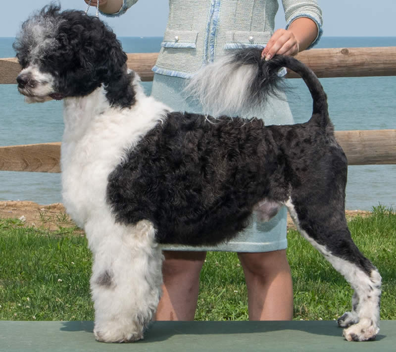Male Portuguese water dog - Acostar's Hold My Beer
