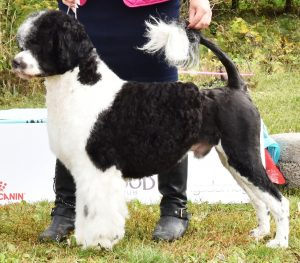 Argus - Acostar male Portuguese waterdog - Acostar's Hold My Beer