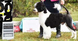 Argus - Acostar Water Dog CKC Champion